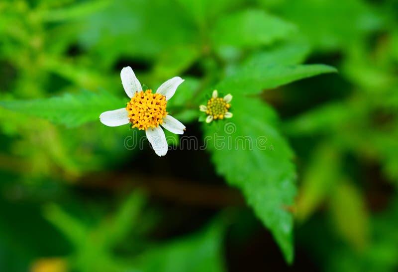 叫化子壁虱的白色光芒小花周围的黄色圆盘小花开花-草本药用植物-自然本底 库存照片