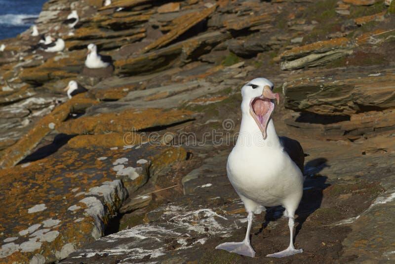 叫黑眉毛的信天翁-福克兰群岛 库存照片