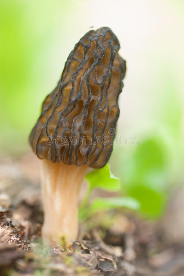 可口羊肚菌蘑菇 免版税库存图片