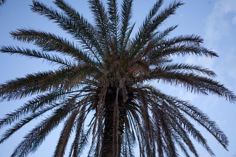 可可椰子厂向上射击  在天空蔚蓝下的干和新鲜的叶状体叶子 树角度图与鳞状和干旱的 库存图片