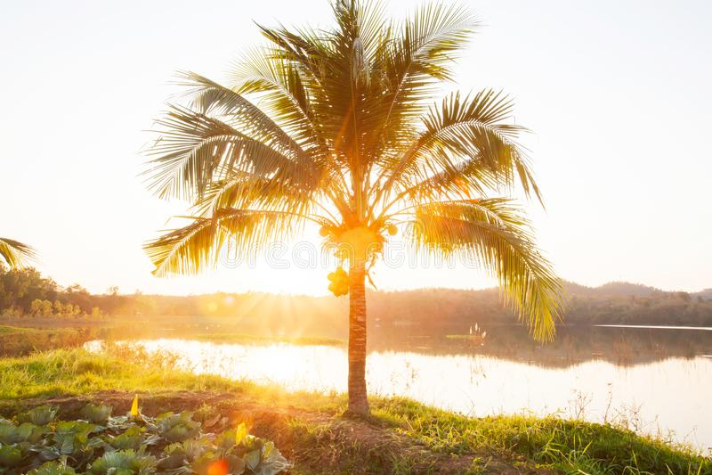 可可椰子树和发光的太阳在夏天黄昏,有机蔬菜从事园艺在湖边 免版税图库摄影