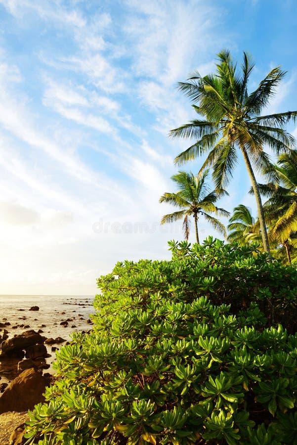 可可椰子树和美洲红树在毛里求斯海岛热带海岸  库存图片