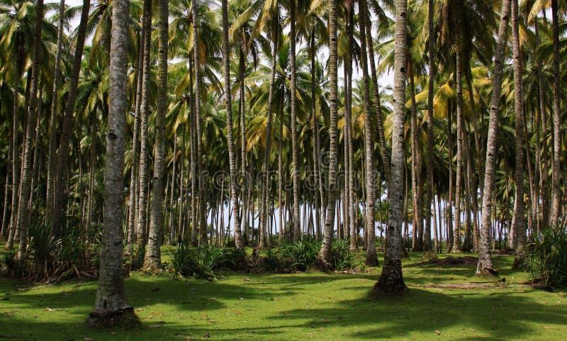 可可椰子树森林 免版税库存照片