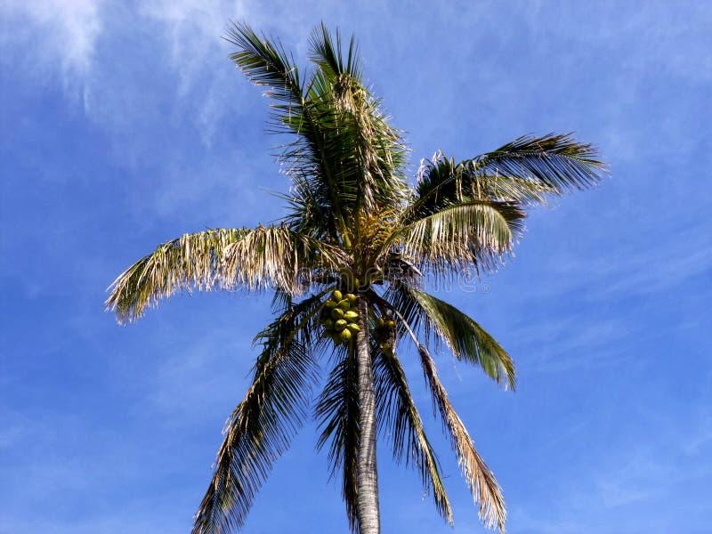 可可椰子树用反对蓝天的果子 免版税库存照片