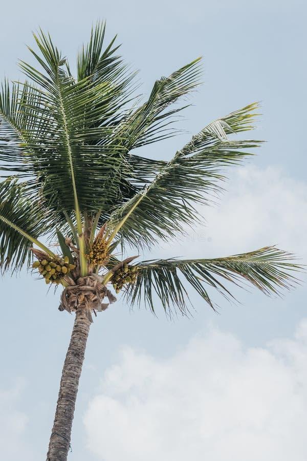 可可椰子树的看法反对蓝天的 免版税库存图片