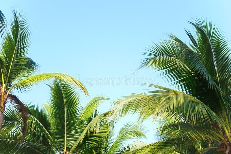 可可椰子树离开与天空蔚蓝,热带棕榈晴朗的夏日 库存图片