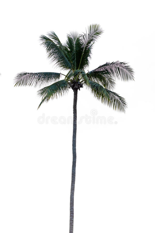 可可椰子树,被隔绝 免版税库存照片