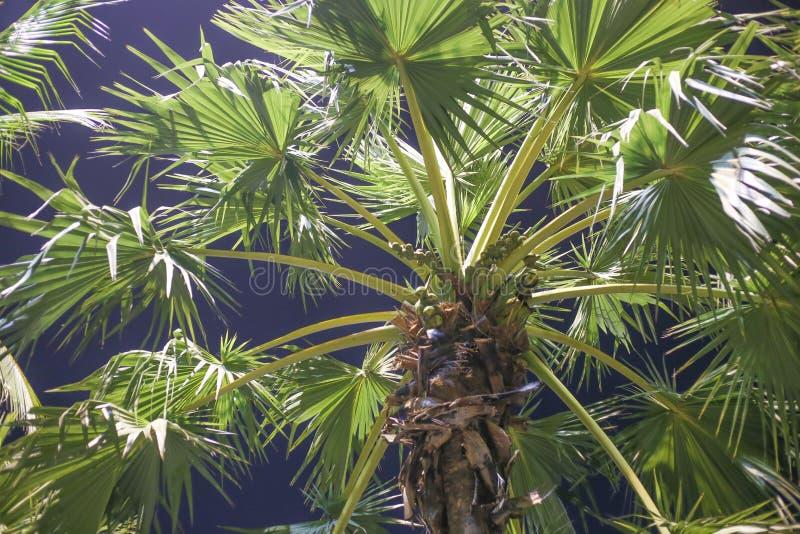 可可椰子的分支 库存照片