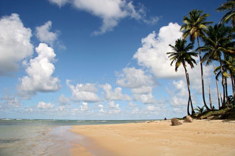 可可椰子结构树 免版税库存图片