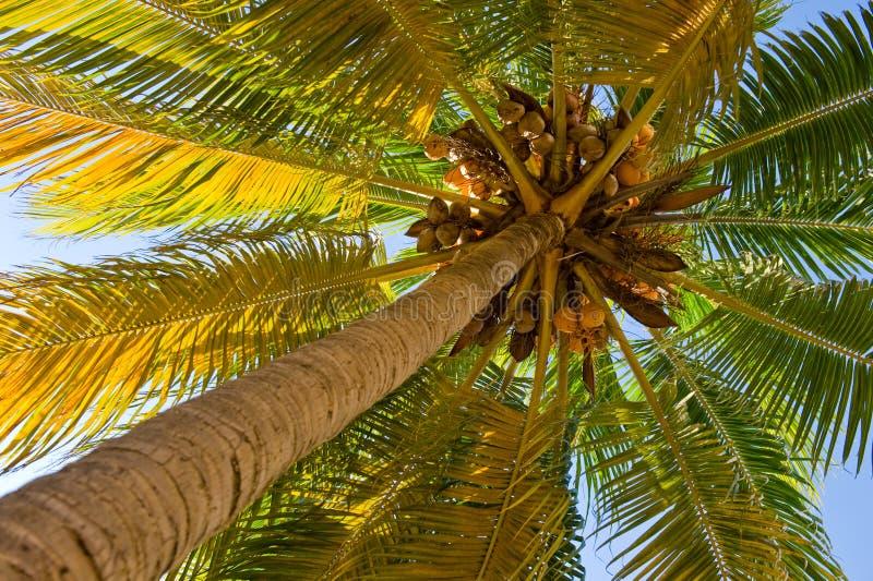 可可椰子结构树 库存图片