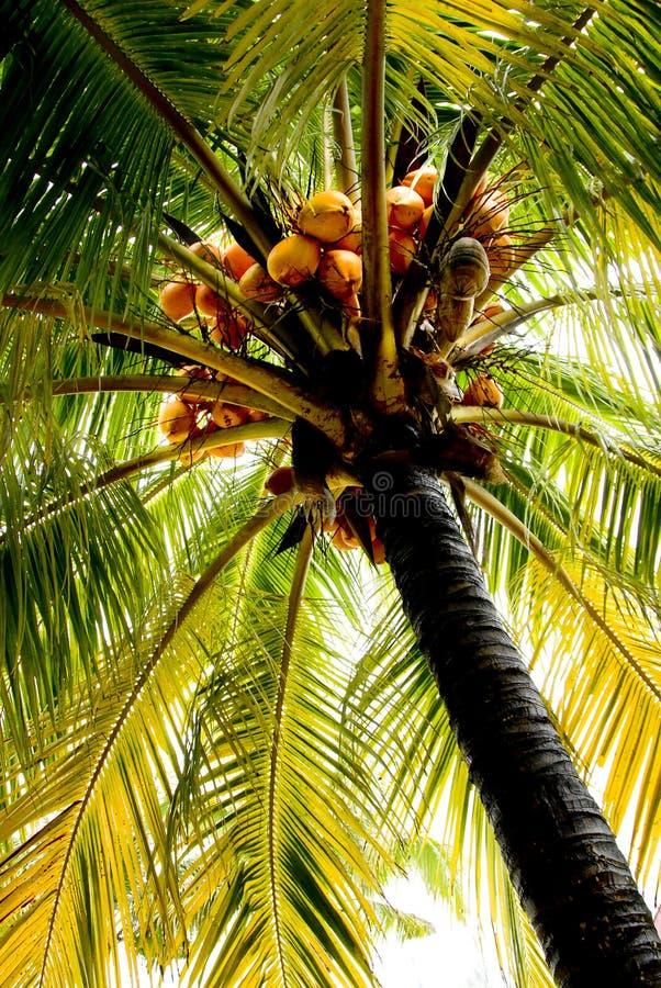 可可椰子(椰子) 库存照片