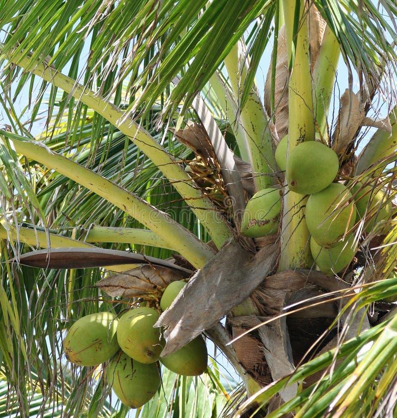 可可椰子 免版税库存图片