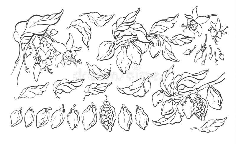 可可粉集合 传染媒介元素 植物的艺术手拉的小组孤立 皇族释放例证
