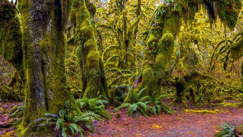 可可西里山脉雨林在奥林匹克国家公园,华盛顿,美国 库存照片