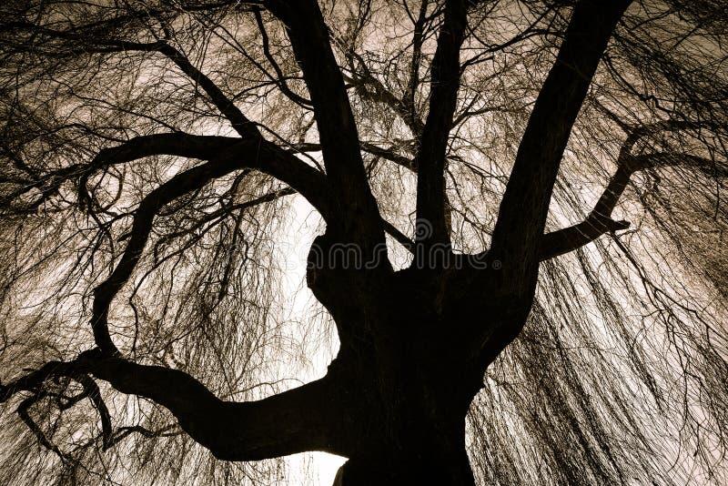 可怕垂柳树 库存照片