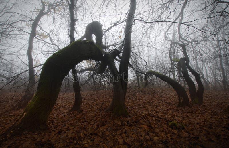 可怕扭转的树在有雾的神奇被困扰的森林里 免版税图库摄影
