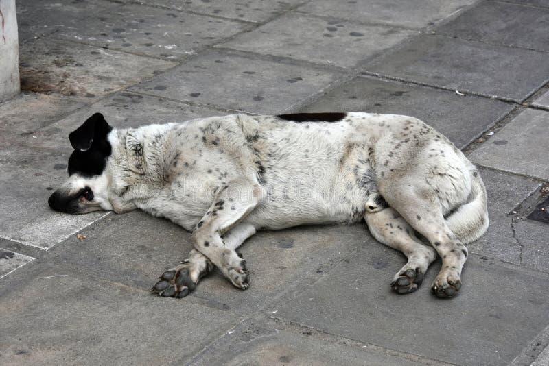 可怜的流浪狗在希腊 库存照片