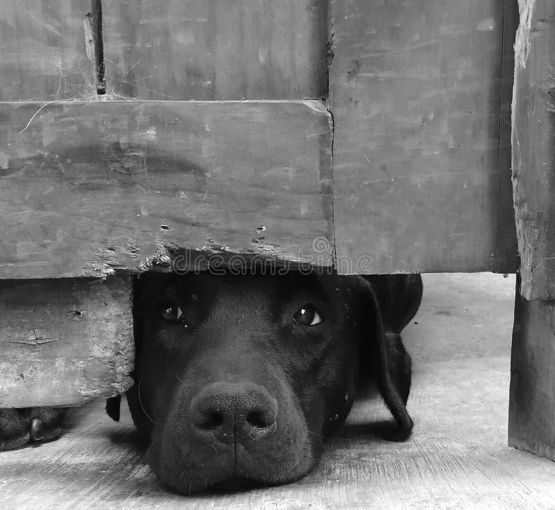 可怜的狗b/w 免版税库存图片