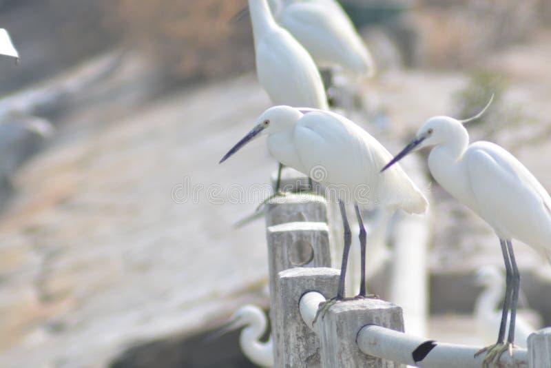 可爱和美丽的白色鸭子 免版税库存照片