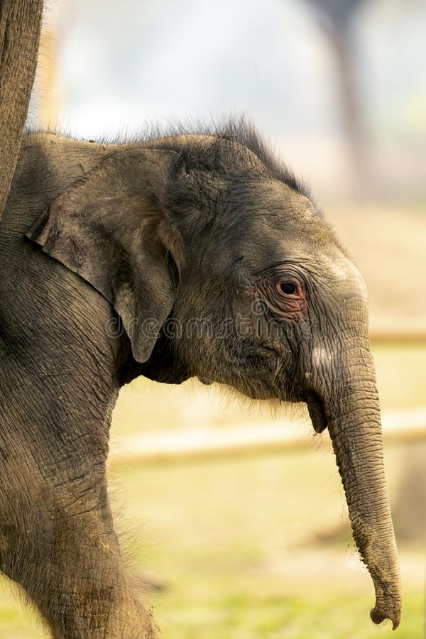 可爱宝贝大象在chitwan国立公园 免版税图库摄影