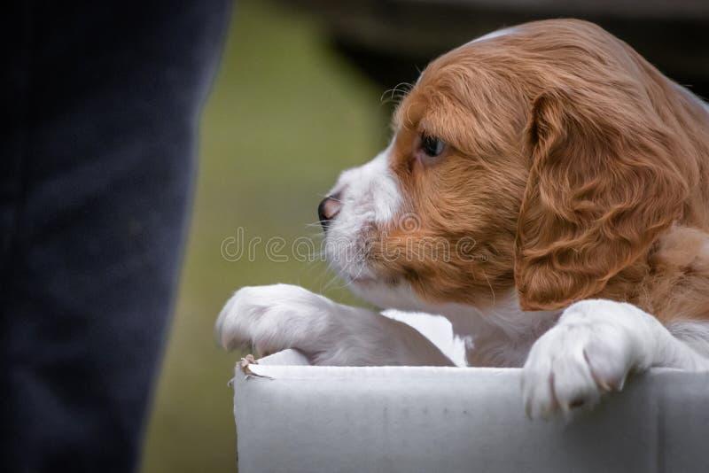 可爱宝贝看在箱子外面的布里坦尼狗 免版税库存图片