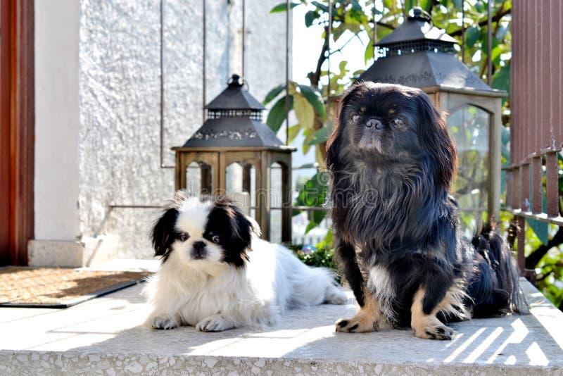 可爱小狮子狗夫妇,白色和黑,短小和一起使用在庭院,Pekingese狗小狗里的长发品种 免版税库存图片