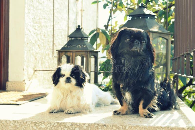 可爱小狮子狗夫妇,白色和黑,短小和一起使用在庭院,Pekingese狗小狗里的长发品种 免版税图库摄影