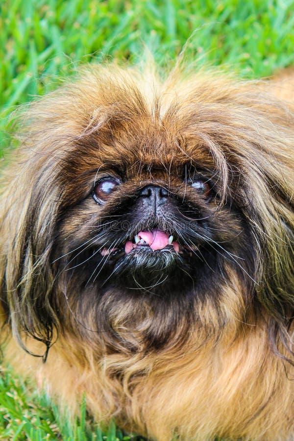可爱棕发碧金狗,成年女 也称为Pekinese、Beijing Lion Dog或Chinese Spaniel 普雷布德, 免版税图库摄影