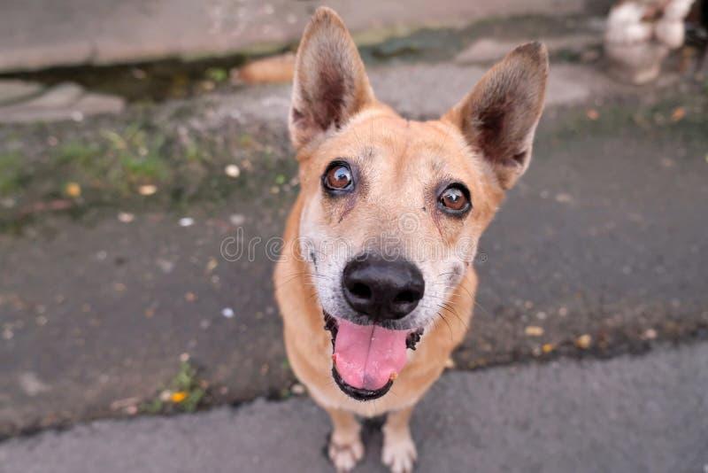 可爱泰国狗的褐色非常逗人喜爱和 免版税库存照片