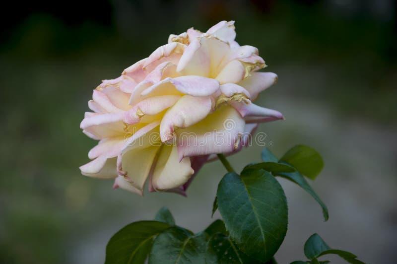 可爱的大乳白色花在绿色背景上升了 绿色叶子和刺 仍然1寿命 与光和阴影的对比 免版税库存图片