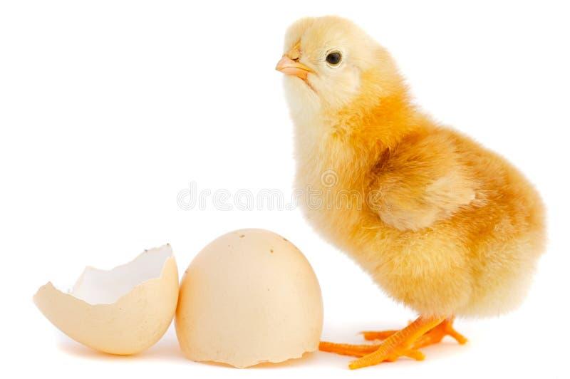 可爱的婴孩小鸡 免版税库存照片