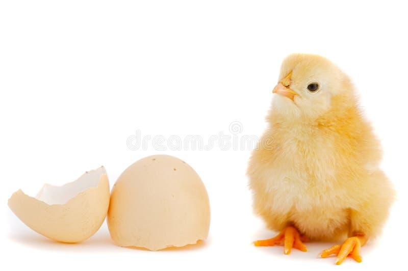 可爱的婴孩小鸡 库存照片