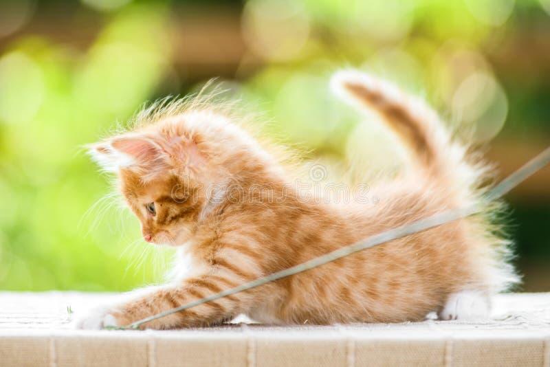 可爱的嬉戏的红色橙色蓬松小猫在好日子 库存图片