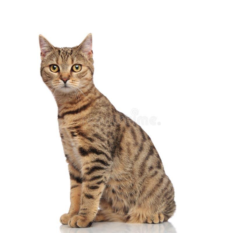 可爱的安装的镶边英国侧视图折叠猫 图库摄影