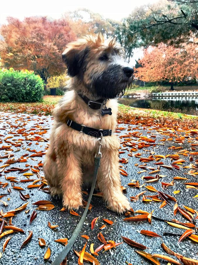 可爱的小狗和秋叶 库存图片