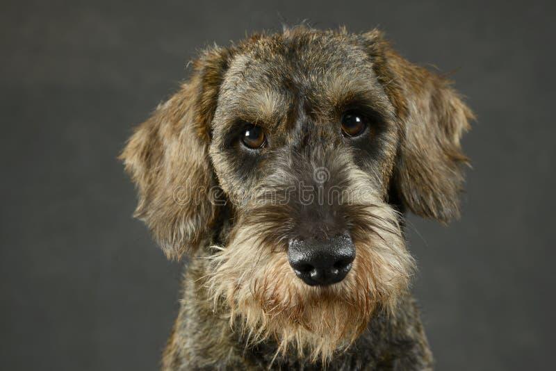 可爱的小狗在灰色照片演播室架线了头发达克斯猎犬画象 库存照片