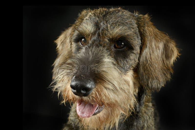 可爱的小狗在黑照片演播室架线了头发达克斯猎犬画象 免版税库存图片