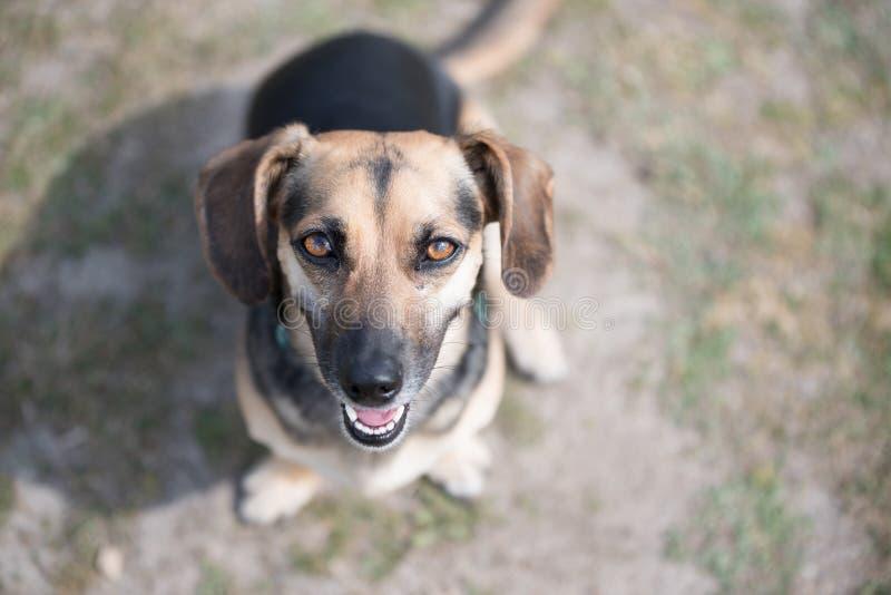 可爱的小狗坐着抬头看 免版税库存照片