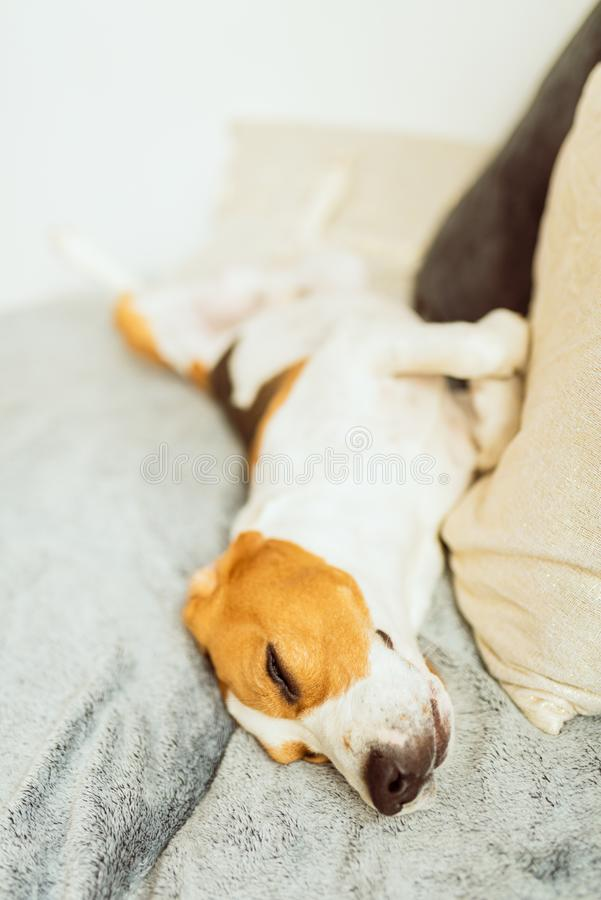 可爱的小猎犬狗在沙发睡觉 本地狗概念 免版税图库摄影