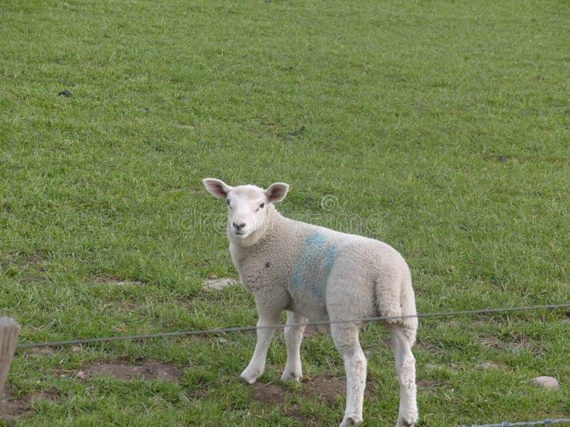 可爱的小羊肉,看着摄象机。春节时节,野地里可爱的小羊肩并肩地看着镜头 免版税库存图片