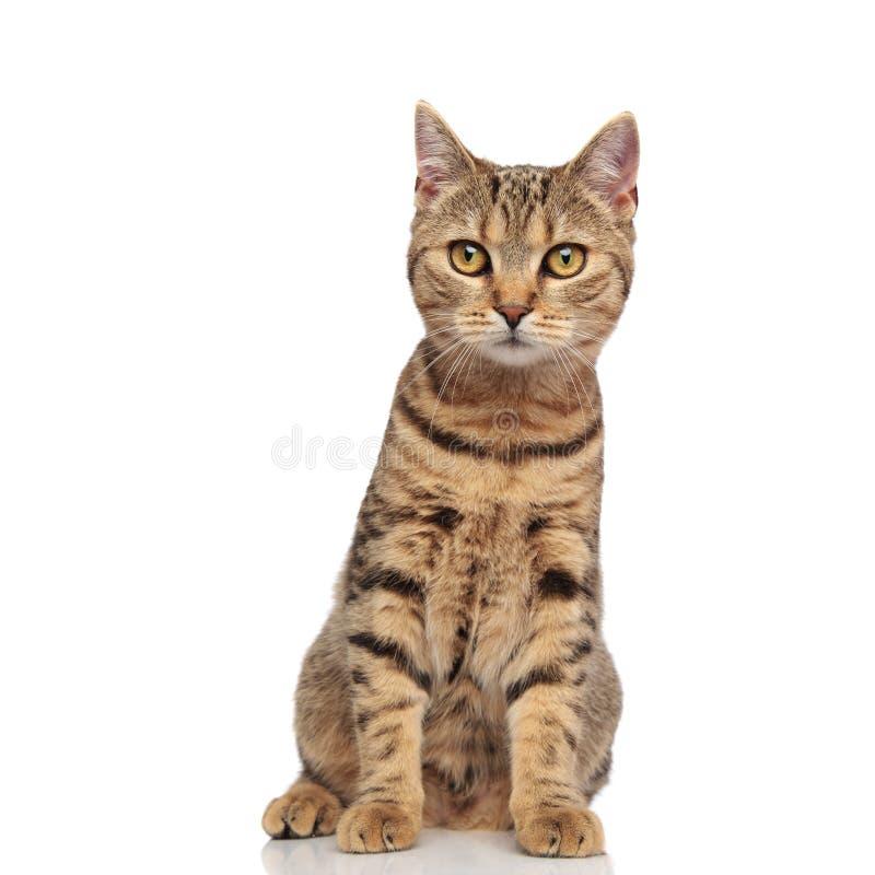 可爱的平纹英国折叠与橙色毛皮开会的猫 库存图片