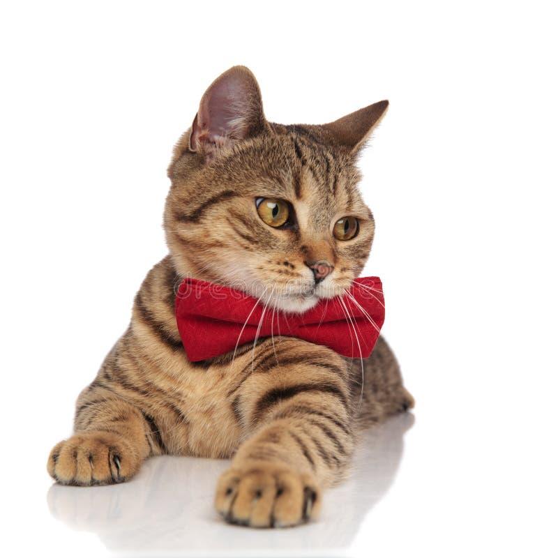可爱的平纹英国折叠以红色bowtie神色支持 免版税库存图片