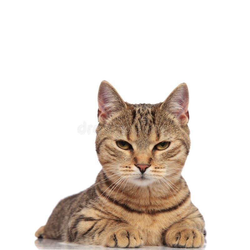 可爱的平纹英国折叠看起来的猫说谎和脾气坏 库存图片