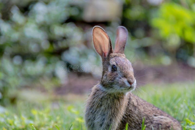 可爱的幼小东部棉尾巴兔子在草庭院里 图库摄影