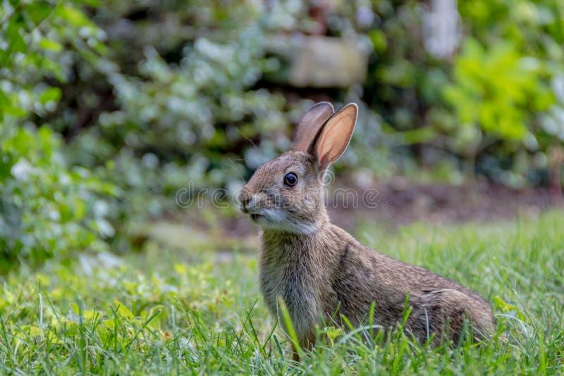 可爱的幼小东部棉尾巴兔子在草庭院里 免版税库存照片