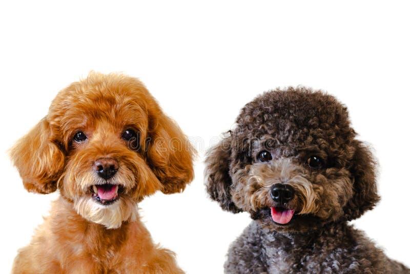 可爱的微笑的褐色画象照片和在白色背景的黑玩具狮子狗狗 免版税库存图片