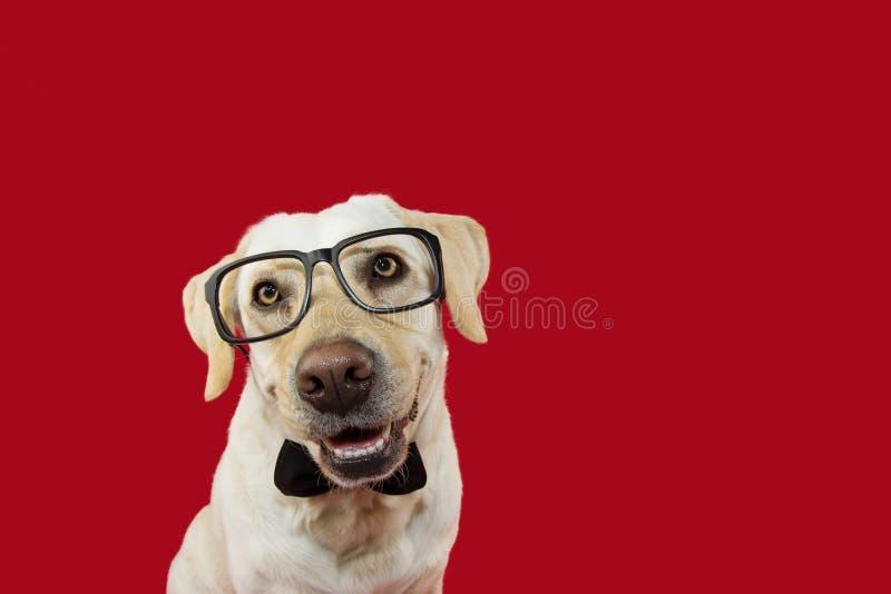 可爱的拉布拉多狗戴着眼镜和黑脖子领带 隔绝反对红色色的背景 免版税库存照片