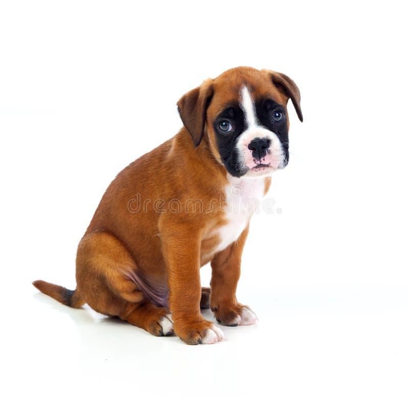 可爱的拳击手小狗开会 图库摄影