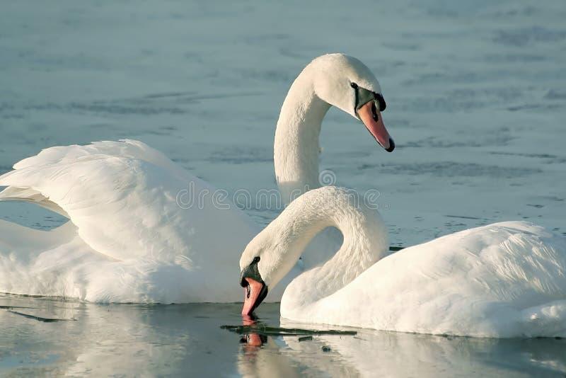 可爱的日出天鹅冬天 免版税库存照片