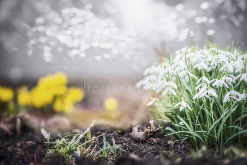 可爱的春天庭院或公园有snowdrops的开花,室外自然 免版税库存图片